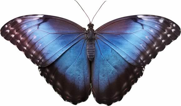 Levage de papillons monarques et belle dame pour envol e gaia nature - Gros papillon de nuit dangereux ...