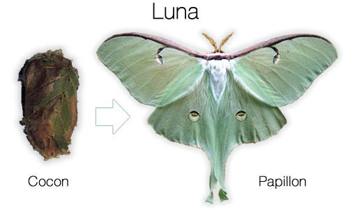 luna cecropia and polyphemus moth cocoons. Black Bedroom Furniture Sets. Home Design Ideas